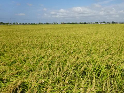 コシヒカリ 5kg 栽培期間中農薬・化学肥料不使用画像