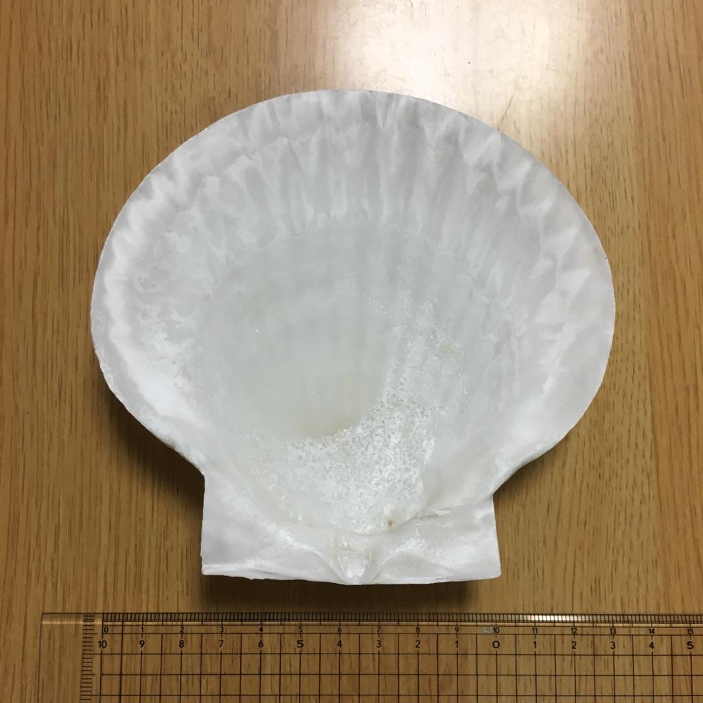 ホタテ貝皿 Sサイズの画像