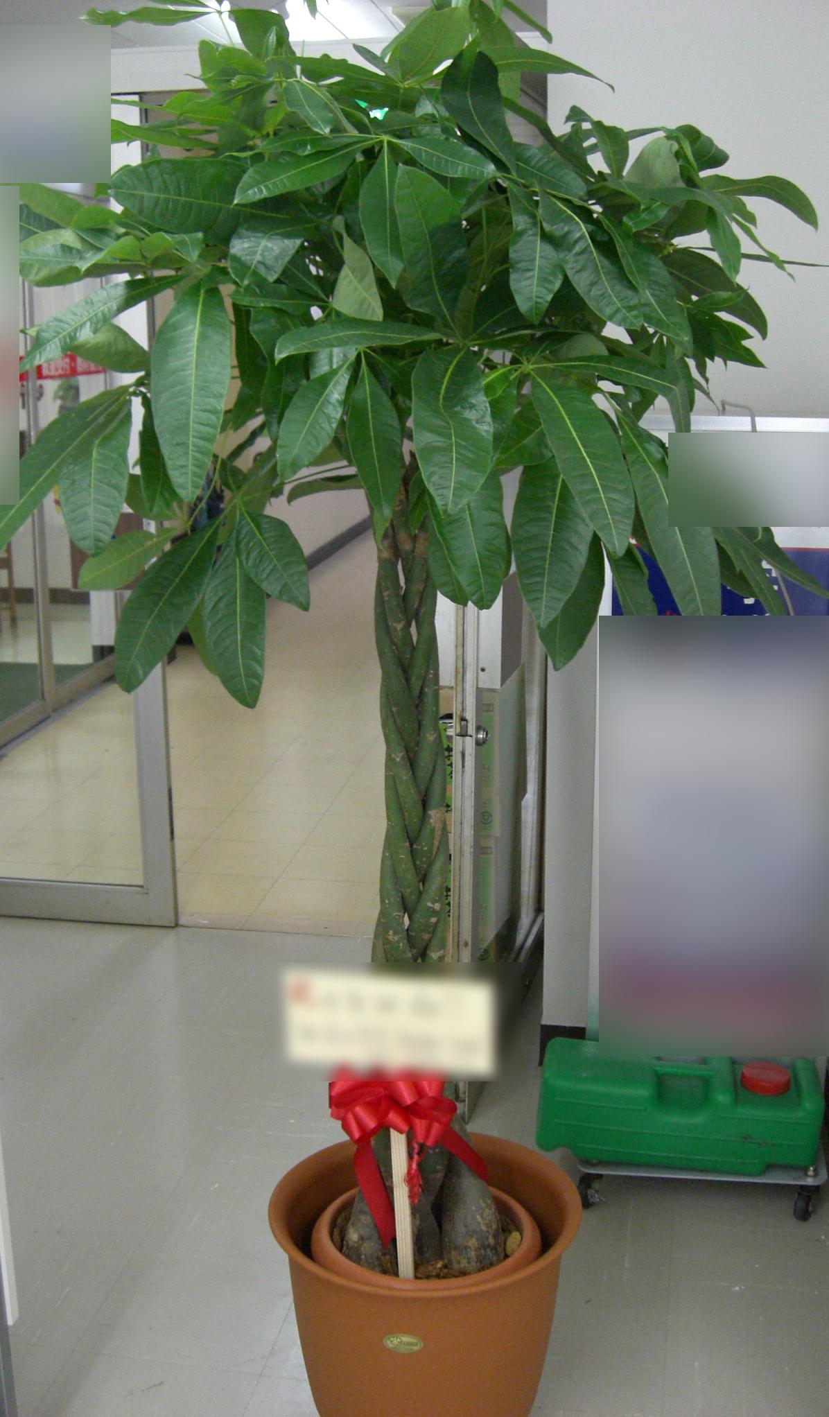 パキラ(発財樹)画像
