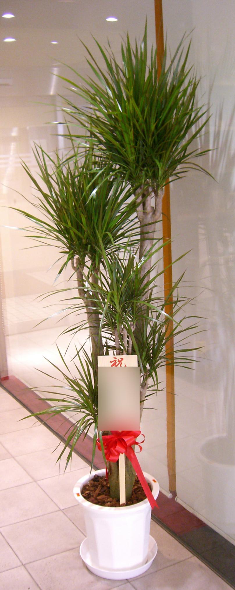 コンシンネン(真実の木)画像