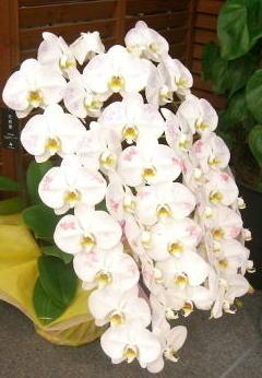 化粧蘭の画像