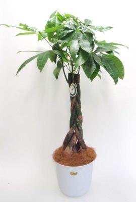 パキラ(発財樹)8号の画像