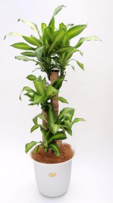 幸福の木(ドラセナマッサンゲアナ)8号の画像