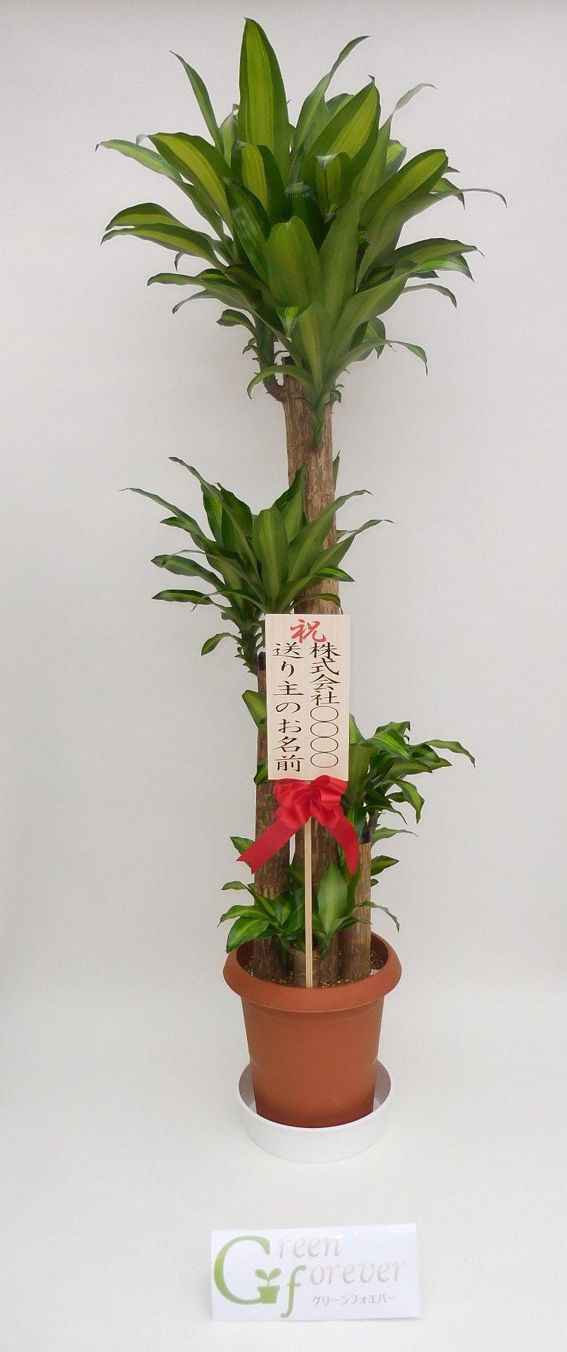 幸福の木(ドラセナマッサンゲアナ)画像