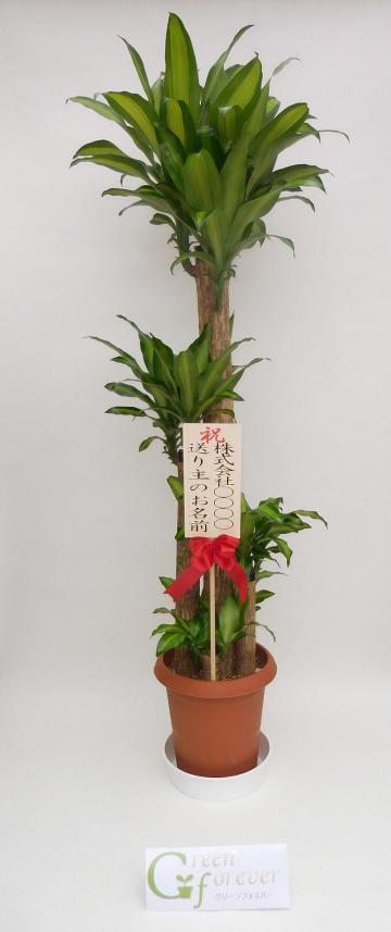 幸福の木(ドラセナマッサンゲアナ)の画像