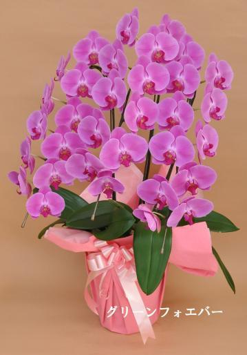 大輪 胡蝶蘭3本立ち (ピンク)の画像