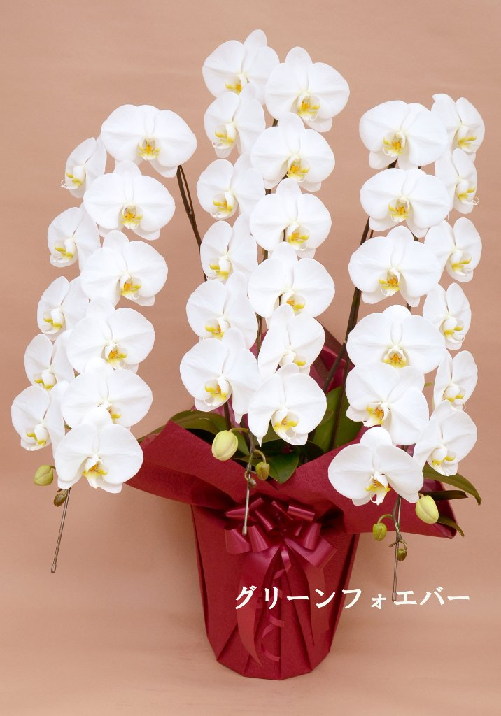 胡蝶蘭 大輪3本立ち (ホワイト)の画像