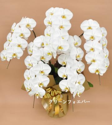 胡蝶蘭 大輪 5本立ち (ホワイト)の画像
