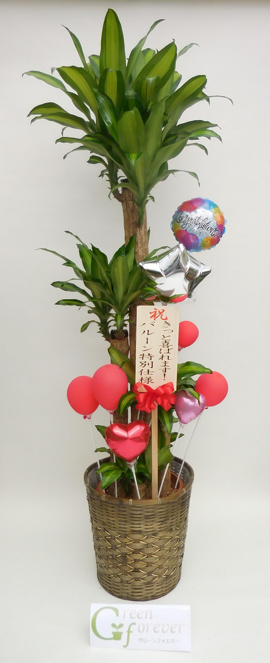 幸福の木(ドラセナマッサンゲアナ)バルーン特別使用の画像