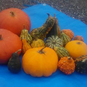 ハロウィンかぼちゃ 混合おもちゃかぼちゃ 25個程度入り(送料・税込み)画像