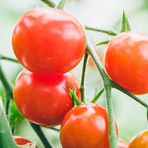 ハイポニカ農法の新鮮トマト  (細野Farm)<生産者直送/他商品との同梱不可>の画像