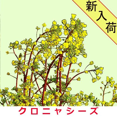 紅菜苔 約2000粒の画像
