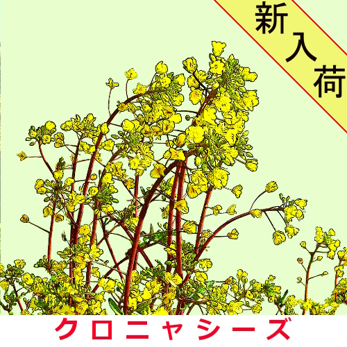 紅菜苔 約2000粒画像