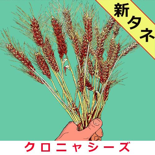 小麦農林61号 約1500粒画像