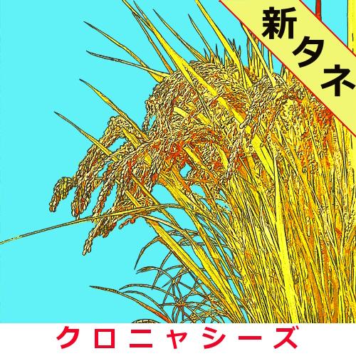 旭(完全無施肥栽培) 約300粒の画像