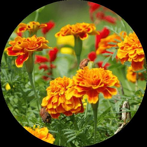 トウキンセンカ花の写真